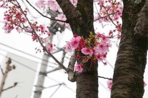 千葉栄町 ソープランド街 ベガスの近く 葭川 桜